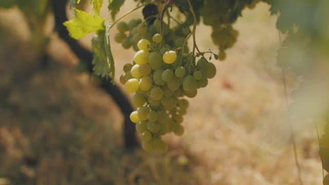 vídeos de stock e filmes b-roll de bunches of white grapes in vineyard - uva