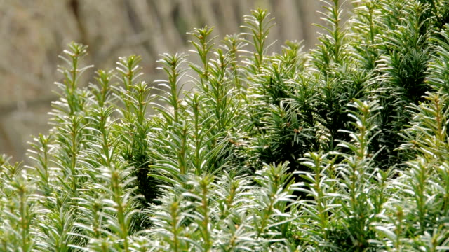 bunches of yew on twigs move in wind - bush stock videos & royalty-free footage