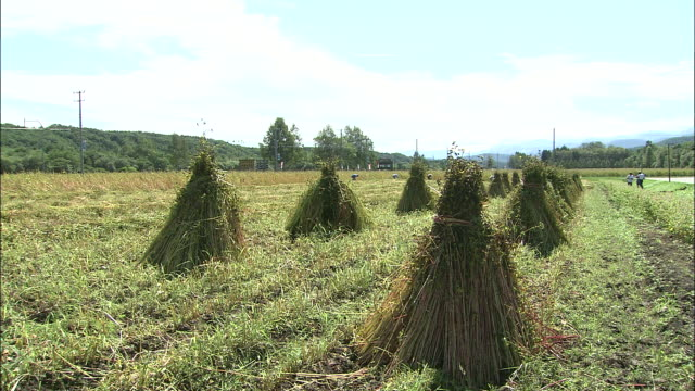 Bundles of harvested buckwheat dry in a field.