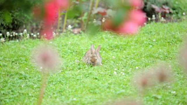 bunny in the park - cottontail stock videos & royalty-free footage