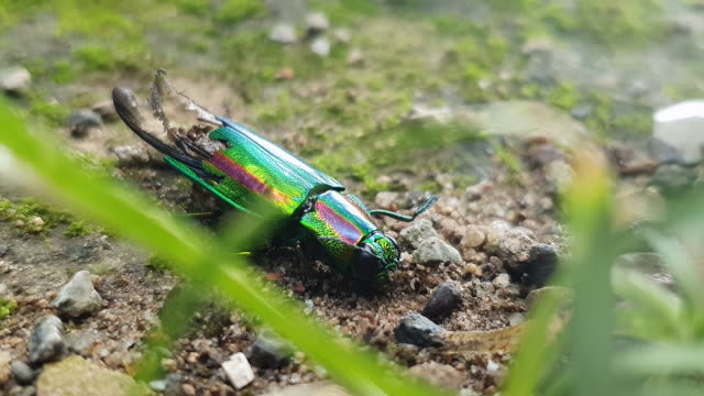 a buprestid attacked by a colony of ants - animal shell stock videos & royalty-free footage