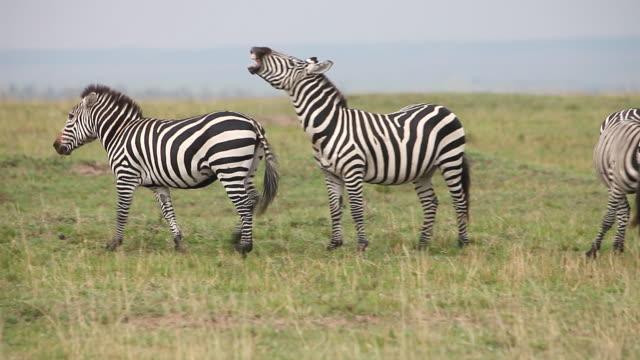 ms burchell zebra herd standing in grass field / national park, africa, kenya - シマウマ点の映像素材/bロール