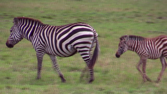 Burchell's Zebra and foal, walking left, Masai Mara, Kenya