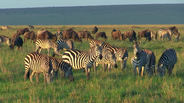 Burchell's Zebra and wildebeest grazing, Masai Mara, Kenya