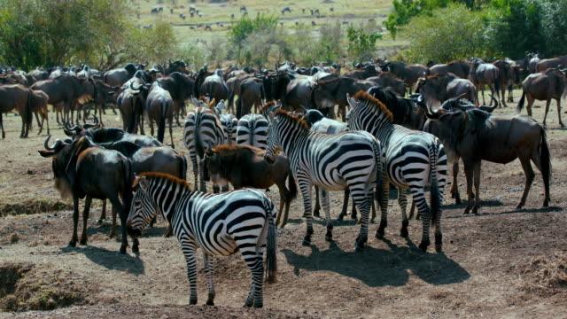 Burchell'S Zebra & Blue Wildebeest Maasai Mara  Kenya  Africa