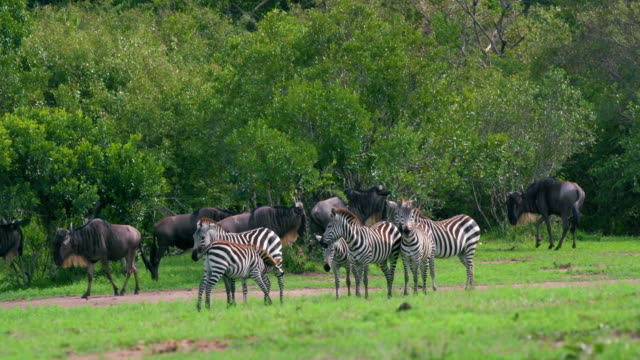 burchell's zebra & blue wildebeest maasai mara, kenya, africa - steppenzebra stock-videos und b-roll-filmmaterial