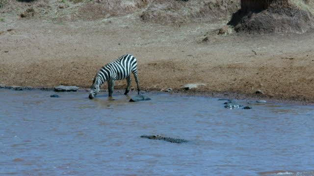 burchell's zebra drinking in mara river near crocodile maasai mara  kenya  africa - クロコダイル点の映像素材/bロール