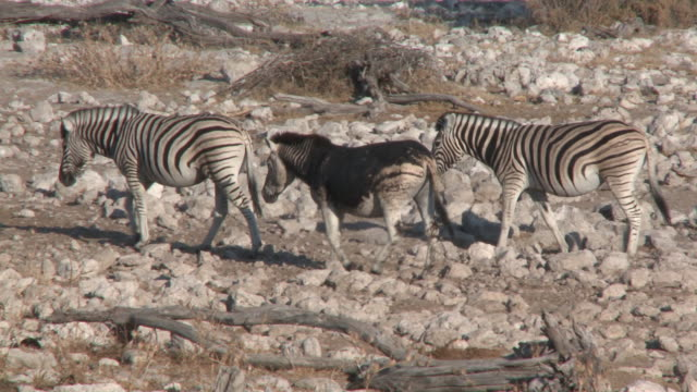 burchell's zebra (equus quagga burchellii), etosha national park, namibia - standing out from the crowd stock videos & royalty-free footage