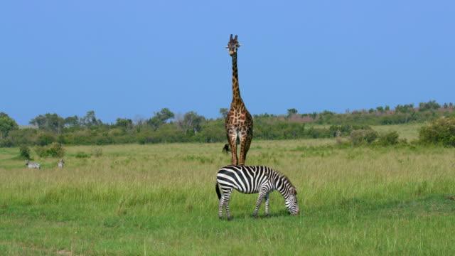 vídeos de stock e filmes b-roll de burchell's zebra grazing & maasai giraffe, maasai mara, kenya, africa - savana