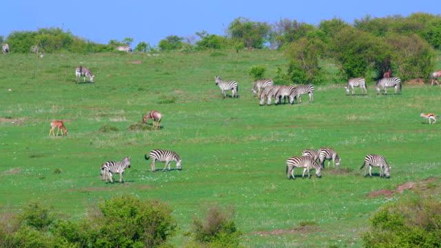 burchell's zebra grazing maasai mara, kenya, africa - antilope stock-videos und b-roll-filmmaterial