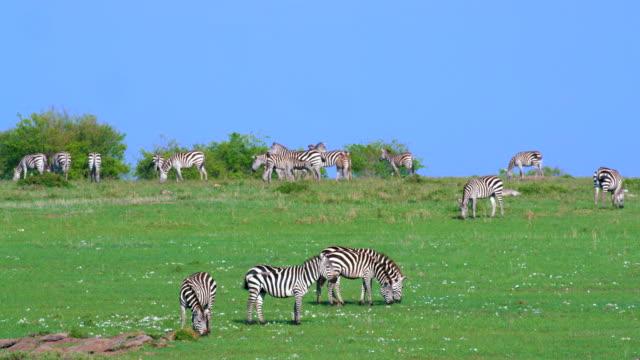 Burchell'S Zebra Grazing Maasai Mara, Kenya, Africa