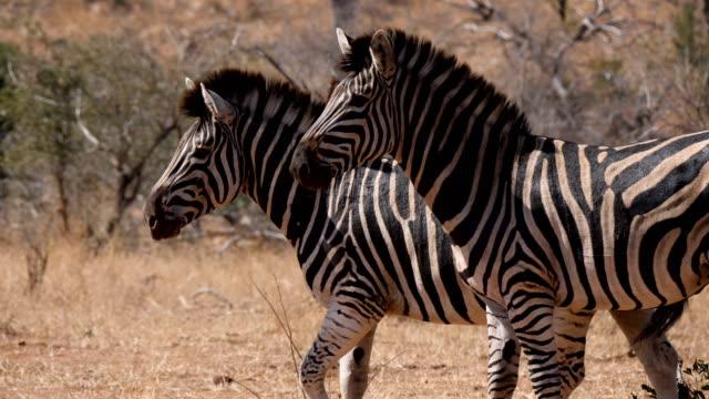 burchell's  zebra in the savanna, kruger national park - steppenzebra stock-videos und b-roll-filmmaterial
