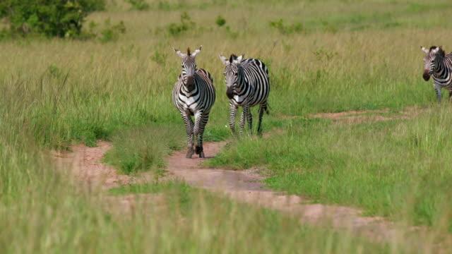 burchell's zebra running on track, maasai mara, kenya, africa - シマウマ点の映像素材/bロール