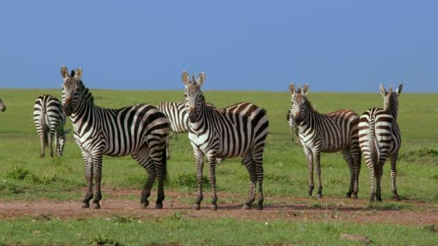 burchell's zebra stood on track, maasai mara, kenya, africa - 子馬点の映像素材/bロール