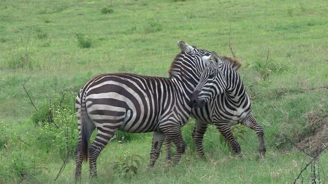 Burchell's Zebra tussle and nip each other, Masai Mara, Kenya