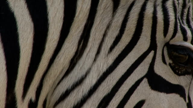 burchell's zebra - hluhluwe stock videos and b-roll footage