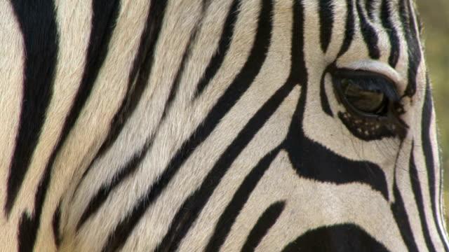 burchell-steppenzebra - zebra stock-videos und b-roll-filmmaterial