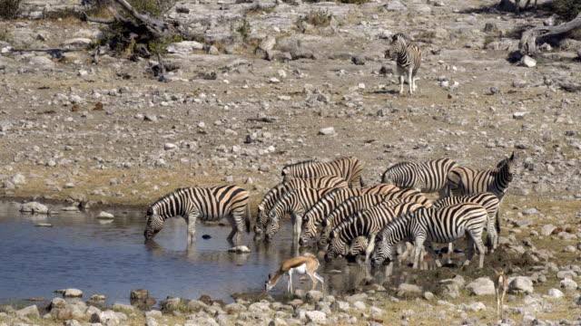 burchell's zebra - eyal bartov stock videos and b-roll footage