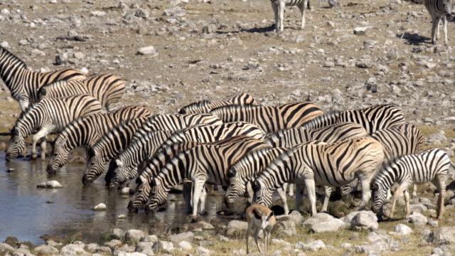 vidéos et rushes de burchell's zebra - plan d'eau