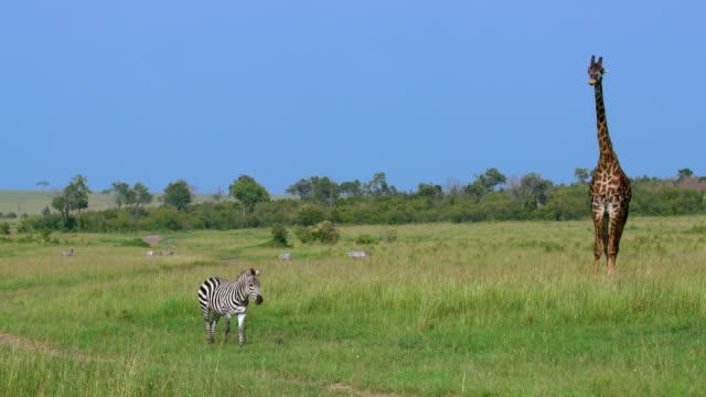burchell's zebra walking & maasai giraffe, maasai mara, kenya, africa - zebra stock-videos und b-roll-filmmaterial