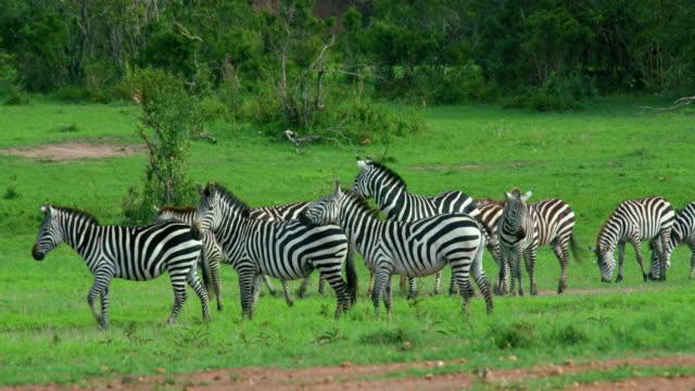 burchell's zebra walking maasai mara, kenya, africa - シマウマ点の映像素材/bロール