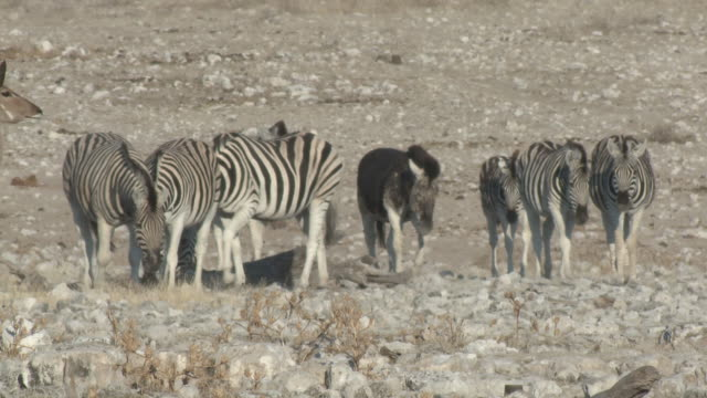 burchell's zebra (equus quagga burchellii) with unusual all-black body colouration, etosha national park, namibia - standing out from the crowd stock videos and b-roll footage