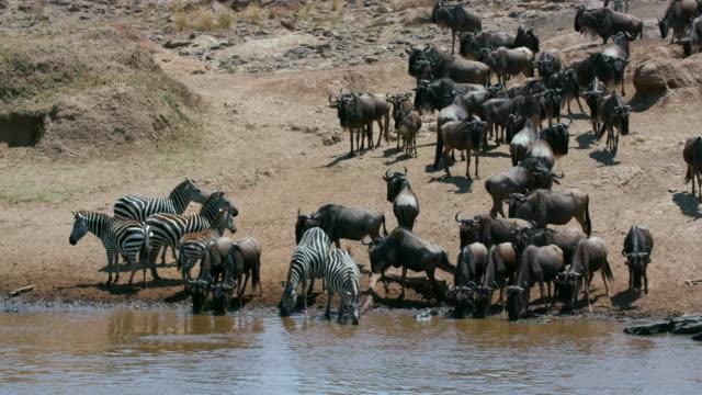 Burchell'S Zebras & Blue Wildebeest Drinking In Mara River Maasai Mara  Kenya  Africa