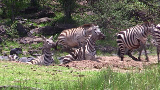 Burchell's Zebras coming up bank of Mara River, Masai Mara, Kenya