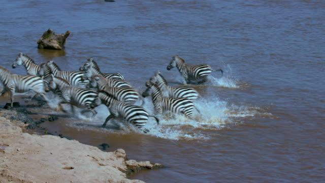 vídeos de stock, filmes e b-roll de burchell's zebras drinking in mara river maasai mara  kenya  africa - temas de animais