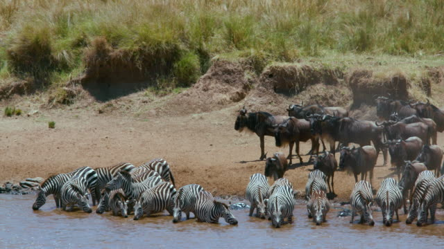Burchells Zebras Drinking Maasai Mara  Kenya  Africa
