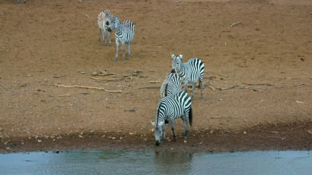 burchell's zebras drinking on riverbank - zebramuster stock-videos und b-roll-filmmaterial