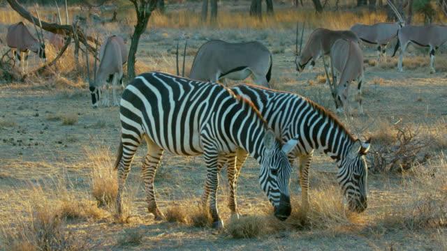 burchell's zebras & east african oryx grazing samburu  kenya  africa - grasen stock-videos und b-roll-filmmaterial