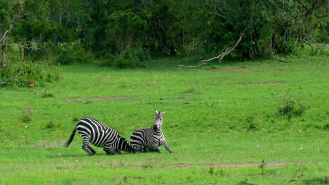 burchell's zebras fighting maasai mara, kenya, africa - zebra stock-videos und b-roll-filmmaterial