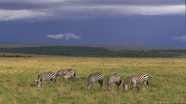 Burchell's zebras graze under stormy skies, Masai Mara, Kenya