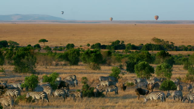 vídeos de stock, filmes e b-roll de burchell's zebras grazing & balloon safari maasai mara  kenya  africa - reserva animal