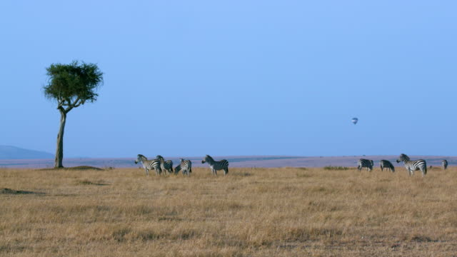 Burchell'S Zebras Grazing & Balloon Safari Maasai Mara  Kenya  Africa