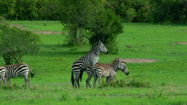 burchell's zebras mating maasai mara, kenya, africa - horse family stock videos and b-roll footage