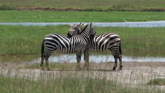burchell's zebras resting heads on one anothers' backs, masai mara, kenya - steppenzebra stock-videos und b-roll-filmmaterial