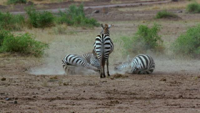 Burchells Zebras Rolling In Dust Maasai Mara  Kenya  Africa