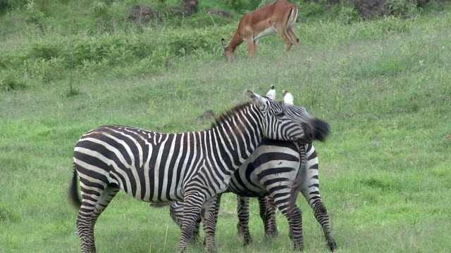 Burchell's Zebras run on stallion, Masai Mara, Kenya