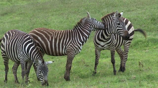 vídeos de stock e filmes b-roll de burchell's zebras tussle and nip, masai mara, kenya - grupo pequeno de animais