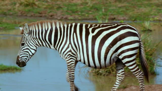 Burchells Zebras Walking Maasai Mara  Kenya  Africa
