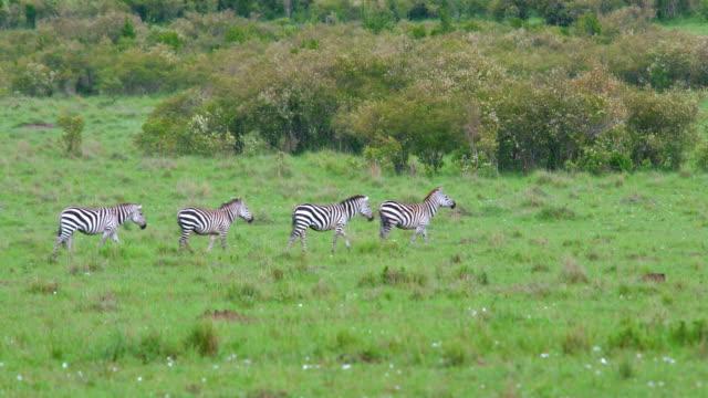 Burchell'S Zebras Walking Maasai Mara  Kenya  Africa