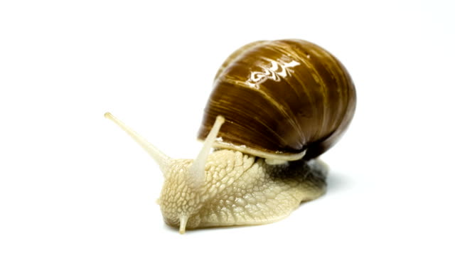 burgundy snail - animal shell stock videos & royalty-free footage
