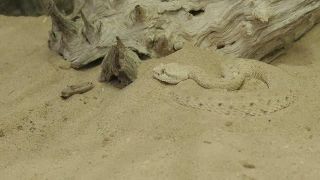 buried sidewinder watches lizard - wilderness stock videos & royalty-free footage
