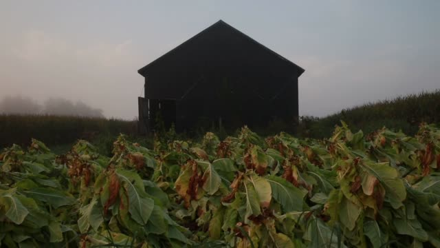 vídeos de stock, filmes e b-roll de burley tobacco grown by tucker farms sits idle in a field before harvest in shelbyville kentucky as the sun rises wide shot of tobacco plants with... - migrant worker