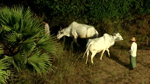 burma-myanmar : oxen pulling a trailer - végétation verdoyante stock videos & royalty-free footage