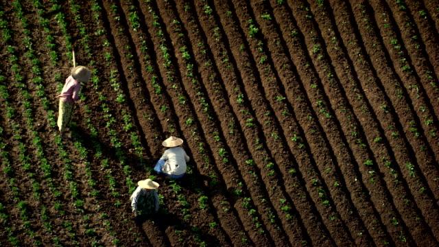Burma-Myanmar : picking of flowers in field