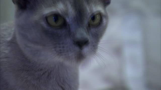 a burmese cat examines its surroundings. - animal eye stock videos & royalty-free footage
