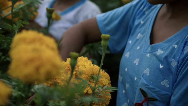 stockvideo's en b-roll-footage met m/s burmese teenage girls gathering flowers - stippen